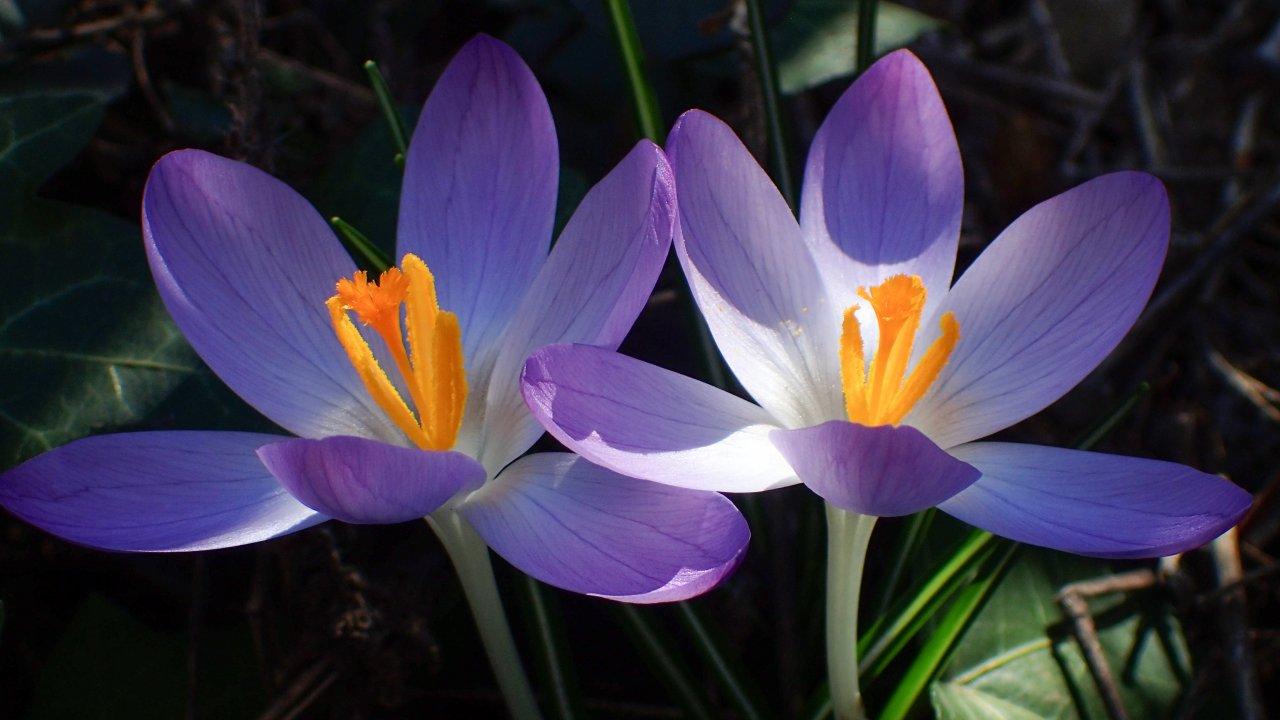крокусы,весна в германии.JPG