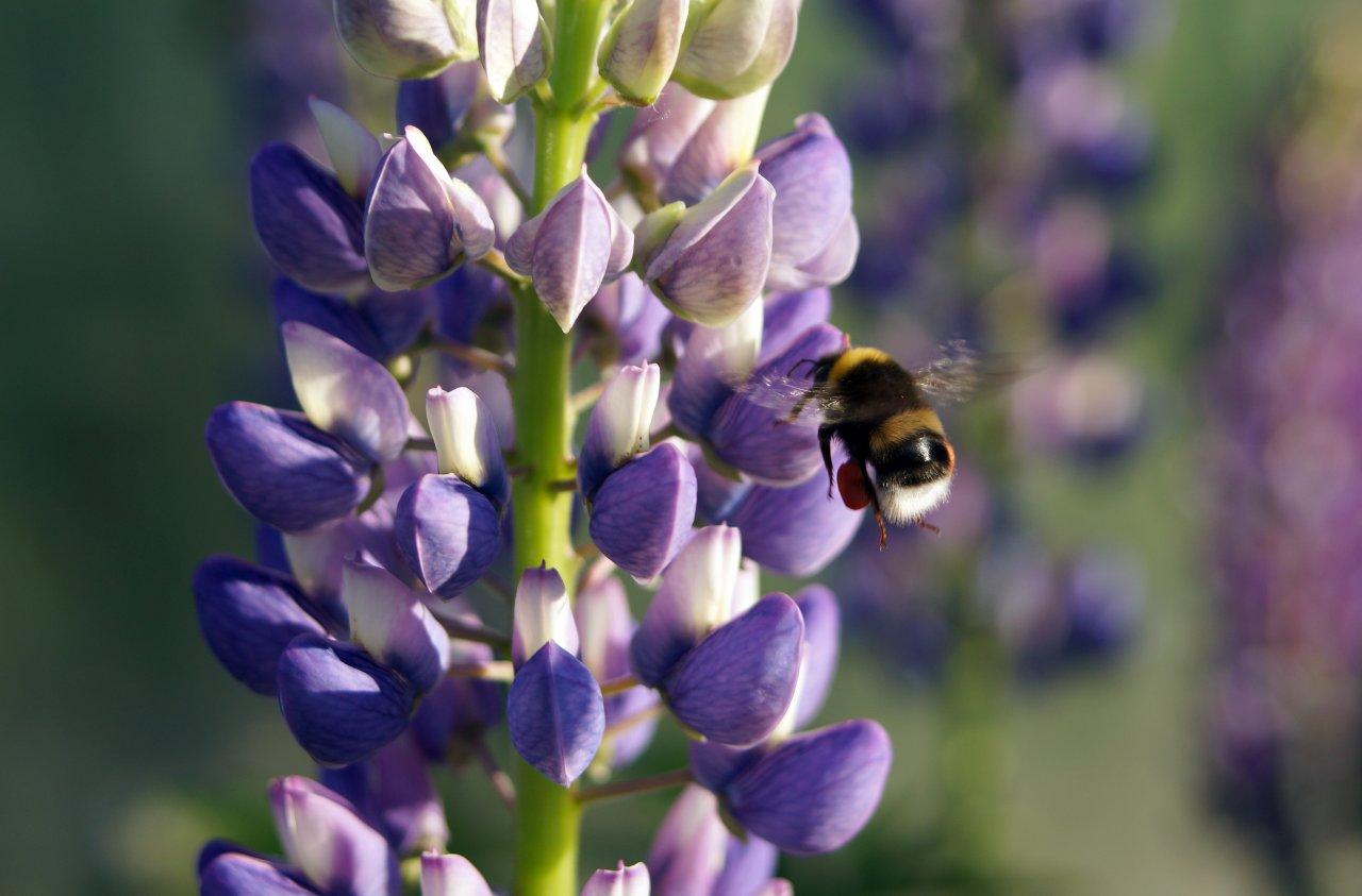 Люпины и пчела.jpg