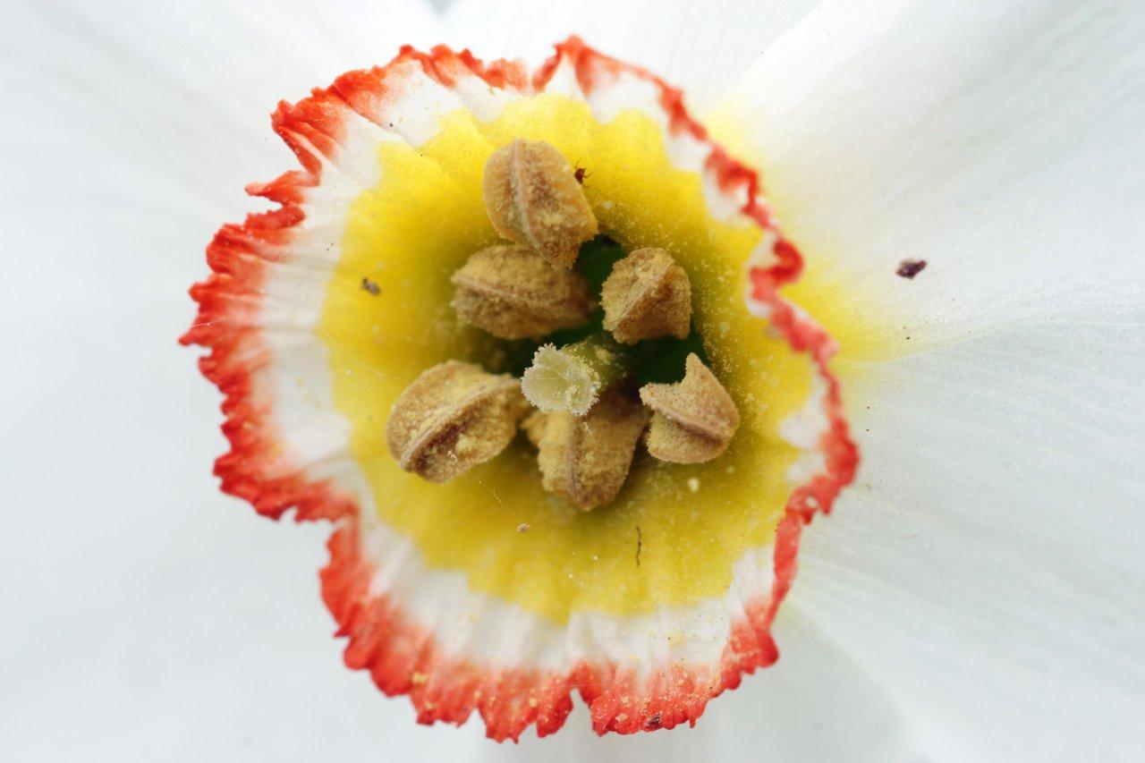 Нарцис тыч.jpg