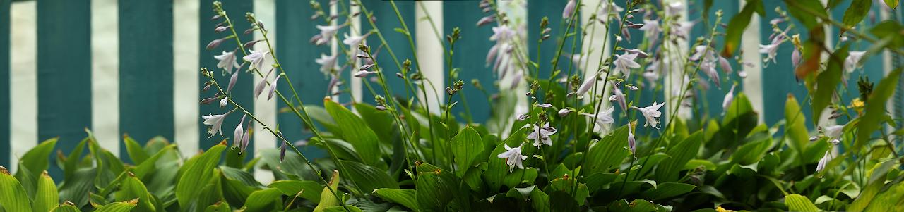 Панорама_цветы_забор_1_дляСклуб.jpg