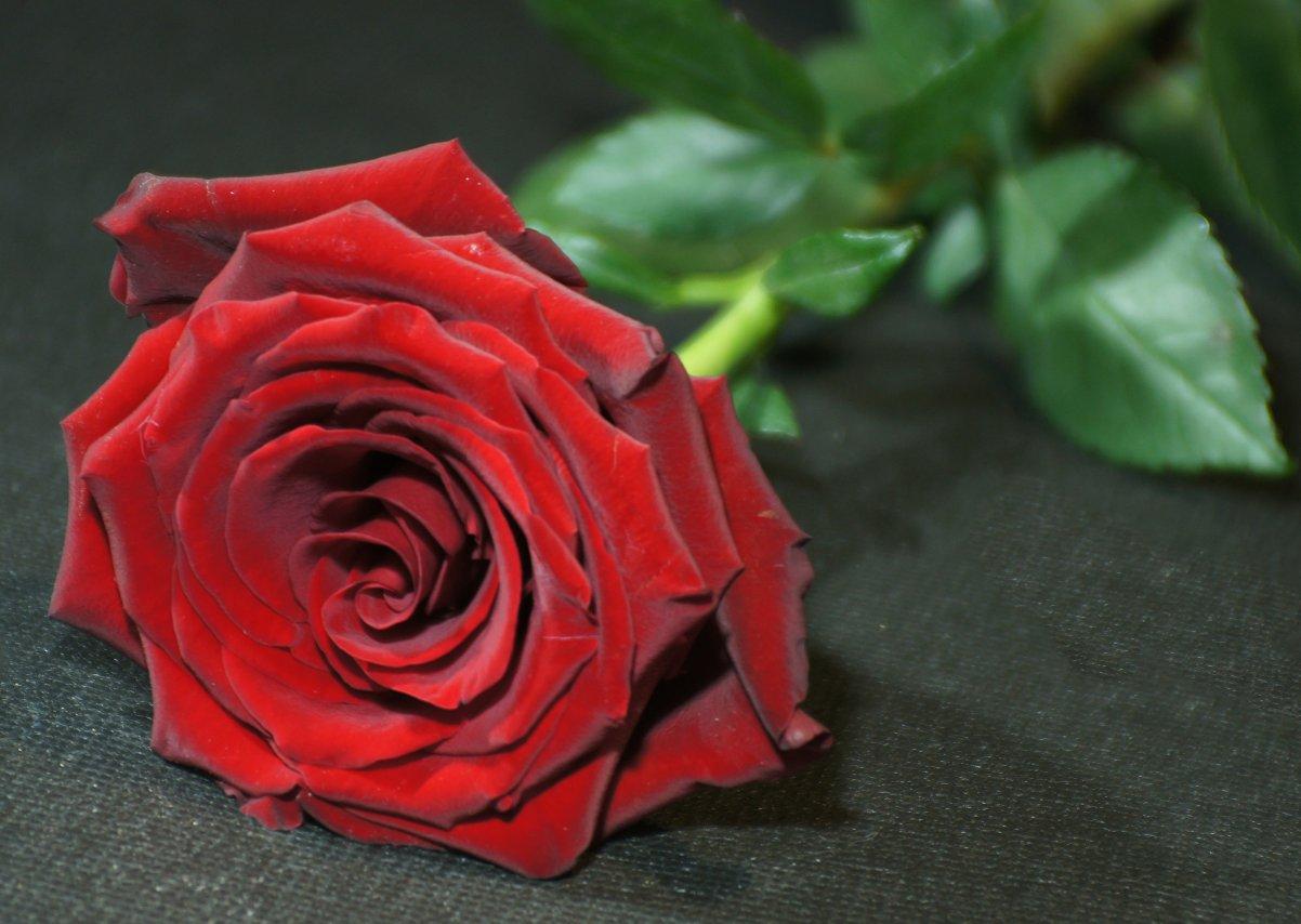 роза (1).JPG