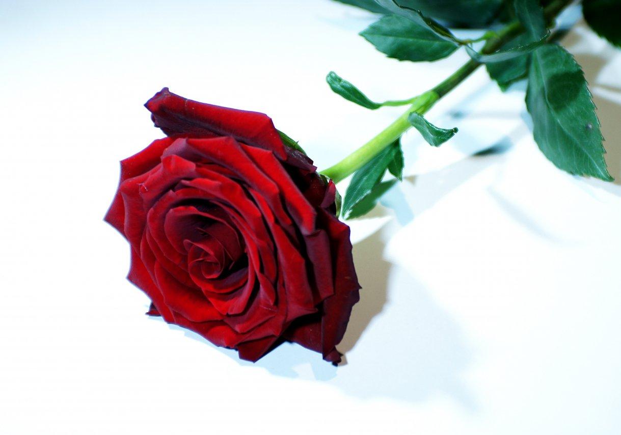 роза (2).JPG