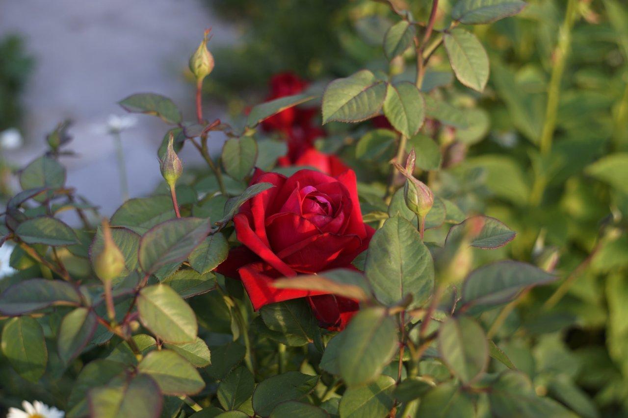 Роза pentacon 50.jpg